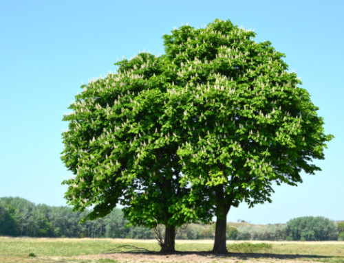 The American Chestnut