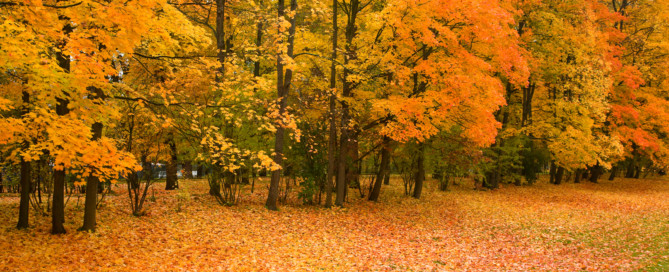 maple trees in the park