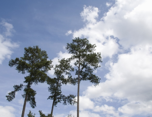 The Loblolly Pine