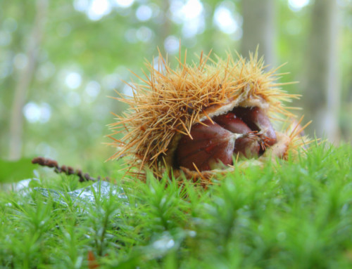 The future of the chestnut tree