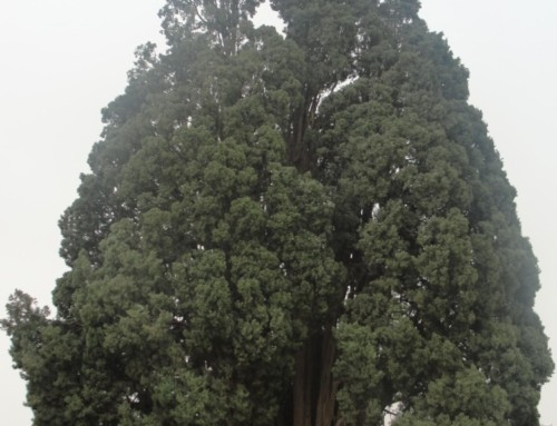 The Zoroastrian Sarv or Iran's oldest tree