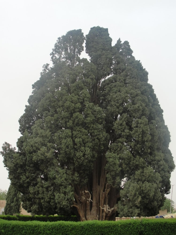 Cypress of Abarkuh