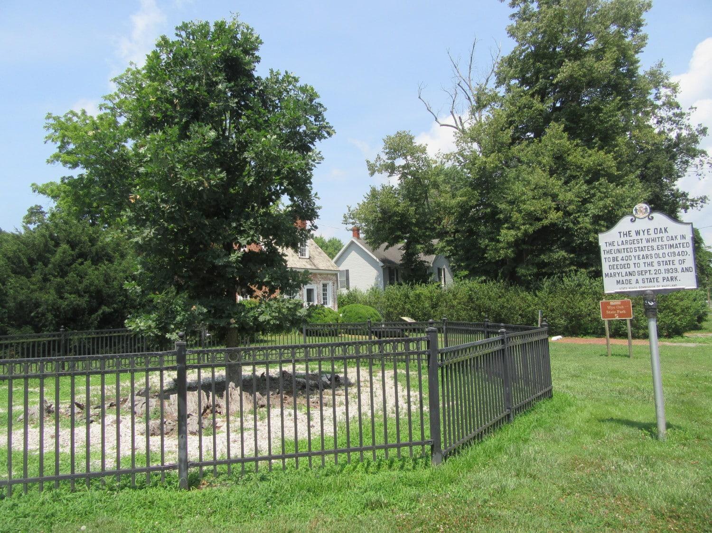The Wye Oak