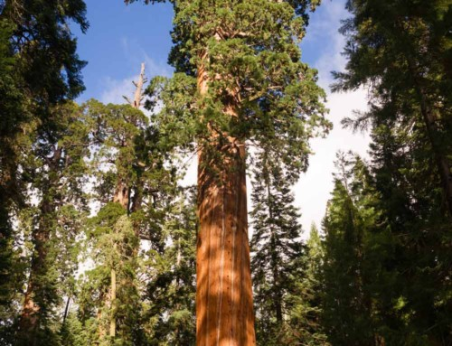 The Redwood and Sequoia: the largest trees in the world