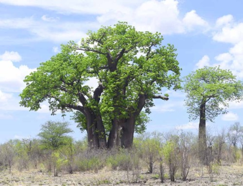 World's Oldest Trees: The Sunland Baobab